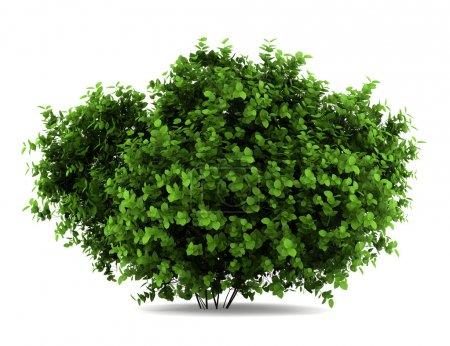 Bigleaf hydrangea bush isolated on white background