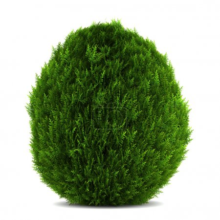 Eastern arborvitae bush isolated on white background