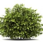 Common hazel bush isolated on white background...