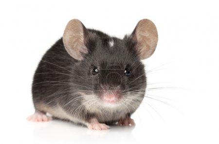 Photo pour Drôle de petit portrait en gros plan de souris sur un fond blanc - image libre de droit