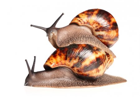 African snails crawling