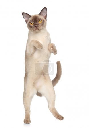 Burmese cat portrait on white background