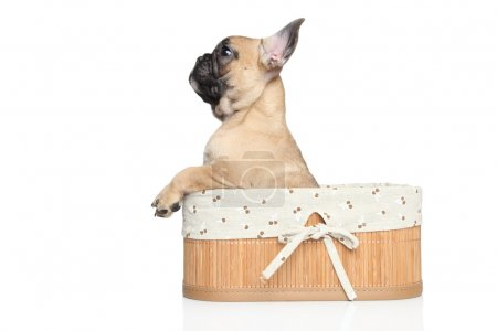 French bulldog puppy in basket