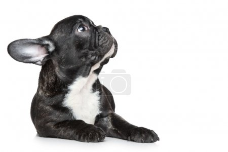 French bulldog puppy looking up