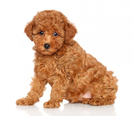 Poodle puppy on a white background
