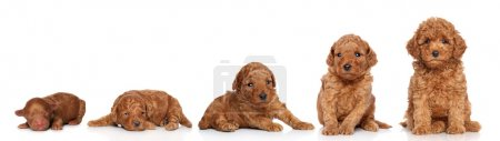 Photo for Miniature Poodle. Puppy growing (2 days, 2 week, 3 week, 4 week, 6 week) on a white background - Royalty Free Image