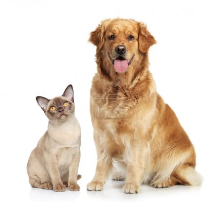 Cat and dog together on a white background...