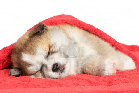 Akita-inu puppy sleep, covered with a blanket