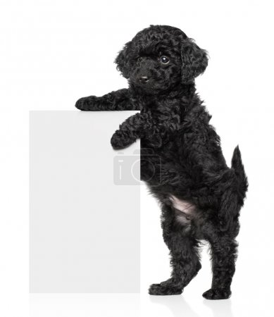 Black Toy poodle puppy hold a banner