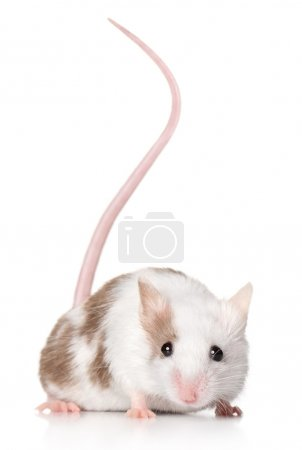 Photo for Beautiful mouse with a long tail posing on a white background. Macro shoot - Royalty Free Image