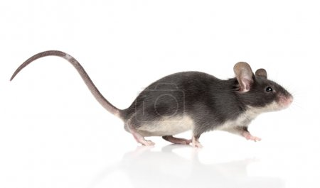 Mouse with a long tail running