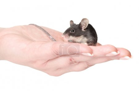 Little mouse sitting on hands