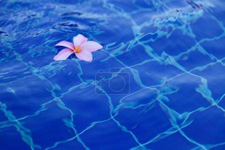 Plumeria in pool