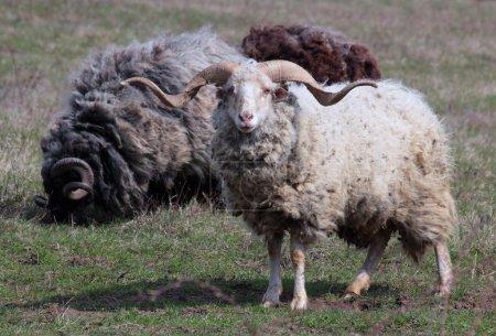 Photo pour Corne torsadée moutons dans la Prairie - image libre de droit