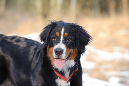 Bernese Mountain Dog winter portrait