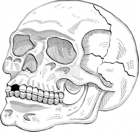 Illustration for The human skull in engrave style - Royalty Free Image