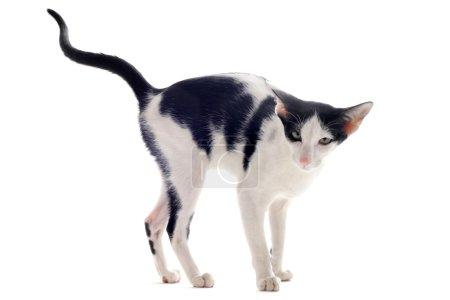 Photo pour Portrait d'un chat oriental qui marque son territoire en face de fond blanc - image libre de droit