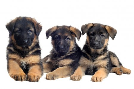 Puppies german shepherds