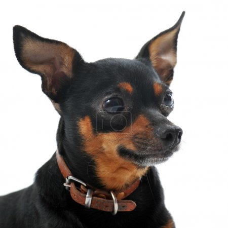 Portrait of a sick miniature pinscher with Leishma...