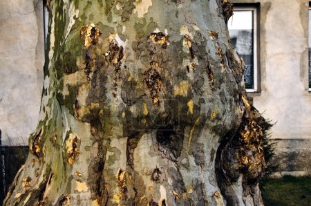 Cut oak