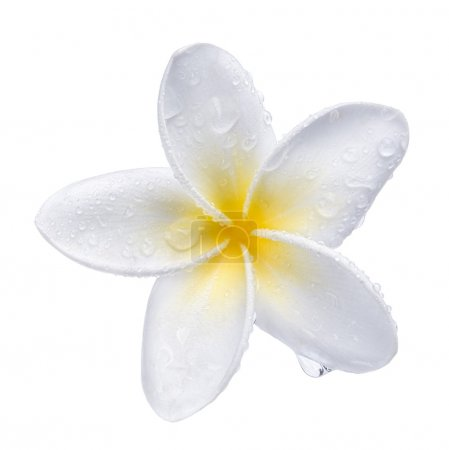 Photo pour Frangipani plumeria Spa Fleur isolée sur blanc - image libre de droit