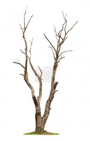 Foto de Solo árbol viejo y muerto aislado sobre fondo blanco - Imagen libre de derechos