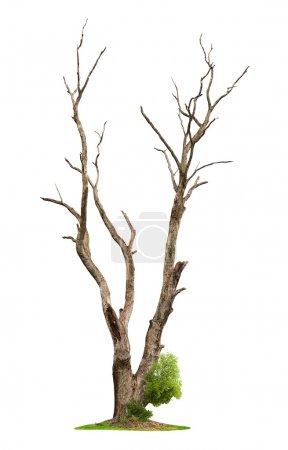 alter Baum auf weißem Hintergrund. Konzept Tod und Leben Wiederbelebung.