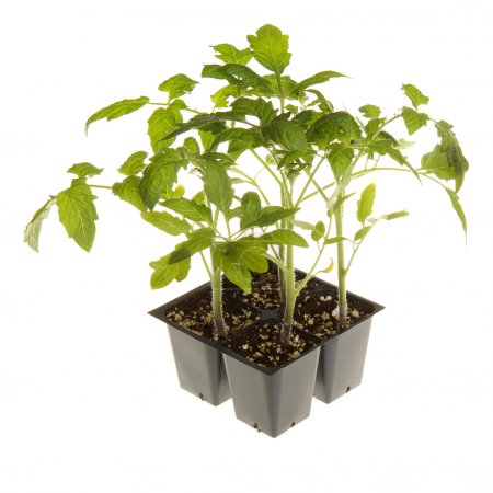 Photo pour Un pack de quatre tomate semis (Solanum lycopersicum ou Lycopersicon esculentum) prêts à être transplanté dans un jardin isolé sur fond blanc - image libre de droit
