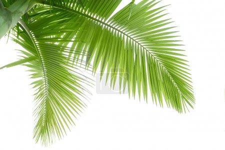 Photo pour Partie du palmier - image libre de droit