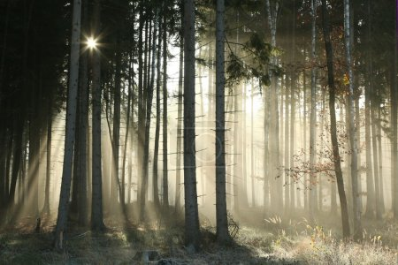 Photo for Autumnal forest on a foggy November morning. - Royalty Free Image
