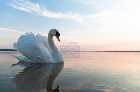 Photo for Swan on blue lake water in sunny day, swans on pond, nature series - Royalty Free Image