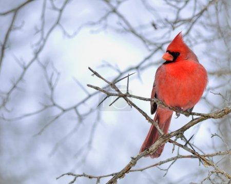 Photo pour Un cardinal mâle perché sur une branche d'arbre . - image libre de droit