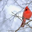 A male Cardinal perched on a tree branch....