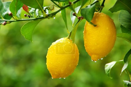 Photo for Yellow lemons hanging on tree - Royalty Free Image