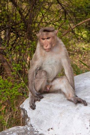 Male Bonnet Macaque