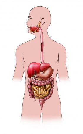 Photo pour Système digestif humain. Illustration numérique . - image libre de droit