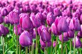 Fialový jarní tulipány