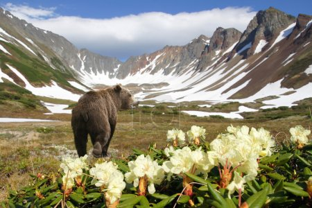 Photo pour Ours dans le cratère du vulcain parmi les fleurs et la neige - image libre de droit
