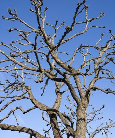Photo pour Branches d'arbre blanc vers bleu ciel - image libre de droit