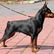 The Miniature Pinscher (Zwergpinscher, Min Pin) is...
