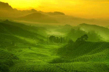 Sunrise view of tea plantation landscape at Camero...