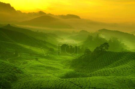 Photo for Sunrise view of tea plantation landscape at Cameron Highland, Malaysia. - Royalty Free Image