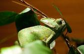 Leguán zelený ještěr na větev stromu