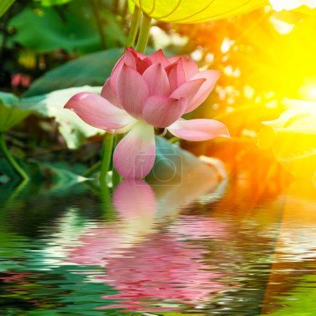 Photo pour Le lotus au soleil avec son image réfléchissante . - image libre de droit