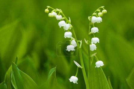 Photo pour Les lys de la vallée, les petites fleurs, la nature en gros plan - image libre de droit