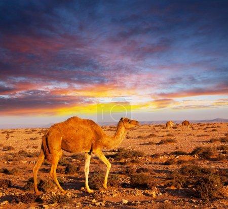 Photo pour Chameau au coucher du soleil - image libre de droit