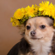 Chihuahua dog with wreath of dandelions...
