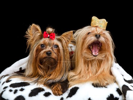 Two royal dogs with crown and gown, isolated...