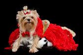 Jorkšírský teriér s luxusní šaty