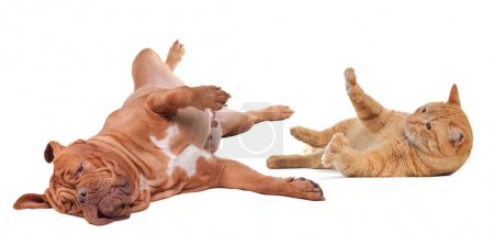 Dog and cat playing turning upside down isolated